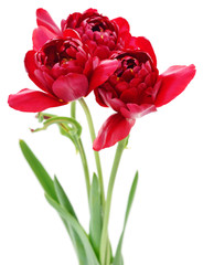 Three red tulips.