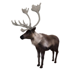 3D Rendering Caribou on White