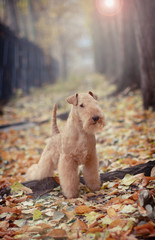 Lakeland Terrier standing on a carpet of autumn leaves