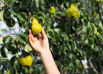 Person harvesting pears from a  tree