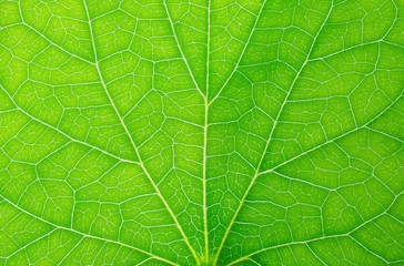 Symmetrical shot of close up green leaf vein branches