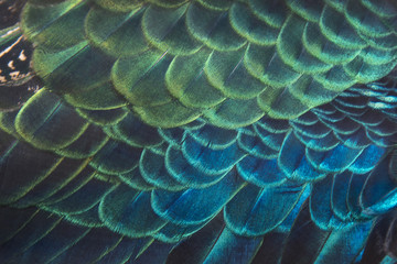 Beautiful peacock feathers, Green Peacock Bird's Feathers in the close up details
