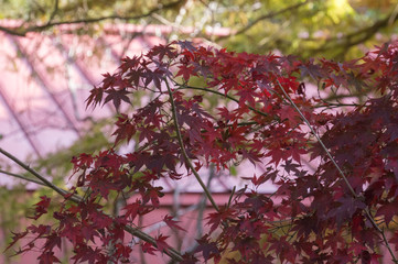 Bright colorful leaves on the branches in the Mount rokko.