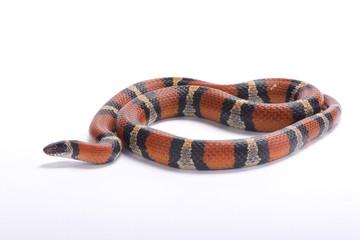 Louisiana milk snake, Lampropeltis triangulum amaura, United States