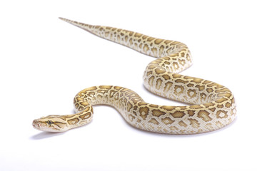 Burmese python,Python bivittatus,hypomelanistic