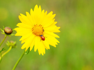 Ladybug on a yellow coreopsis flower against green background