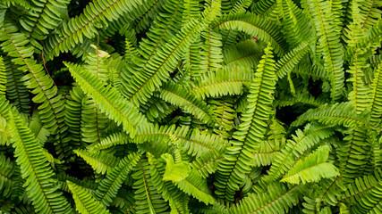 Ferns leaf texture background.