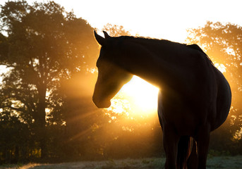 Foto op Canvas Paarden Beautiful Arabian horse silhouette against morning sun shining through haze and trees