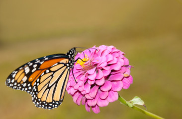 Beautiful Monarch butterfly feeding on pink Zinnia against muted green background