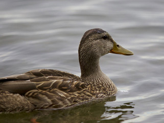 Beautiful isolated image with a duck in the lake