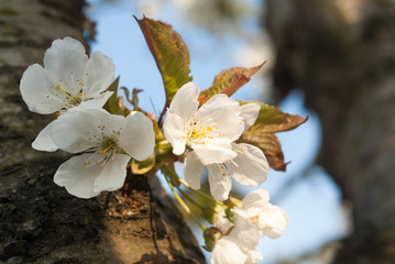 Papiers peints Fleur de cerisier Fleurs de cerisier