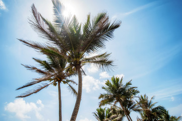 coconut palms and blue cloudy sky.natural  summer background