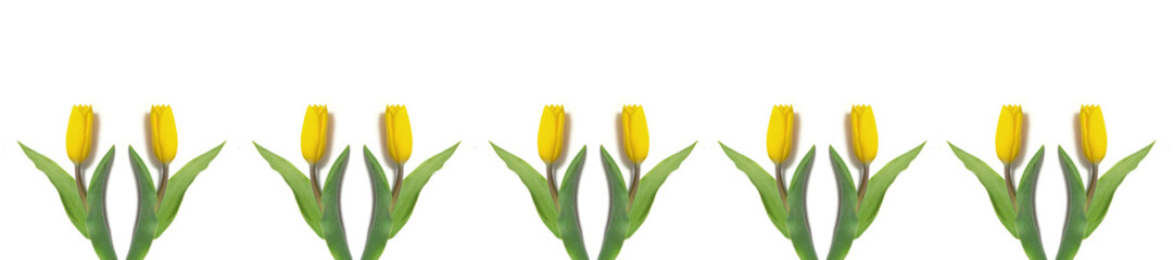 Wall Mural -  panorama yellow tulips on a white