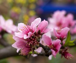 Pink Peach Blossom Macro Sichuan China