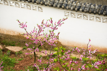 Pink Peach Blossoms Chinese Wall Chengdu Sichuan China