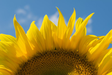 sunflower,blue sky,summer