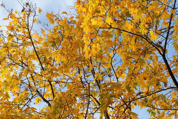 Yellow maple leaves on natural background