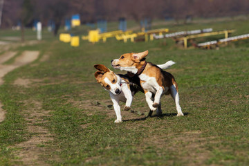 dogs breed beagle