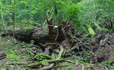 Broken oak tree trung lying rain after