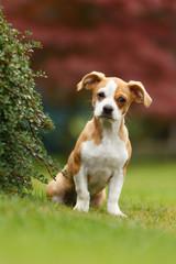 Chihuahua Dackel Mix Welpe
