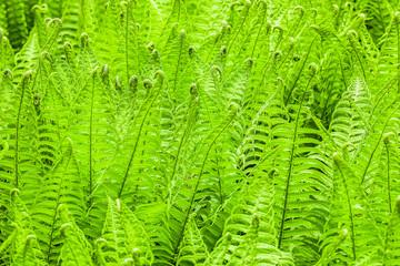 Fern fresh green nature background