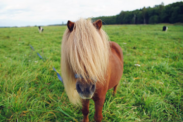 The portrait of a red Shetland pony horse staying outdoors on a pasture with a green grass
