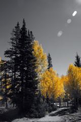 Brilliant golden fall aspen colors
