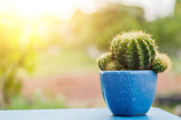 The dwarf cactus That live alone in pots.