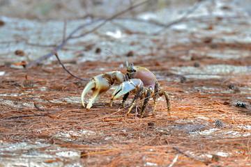 Sand crab, Polynesia