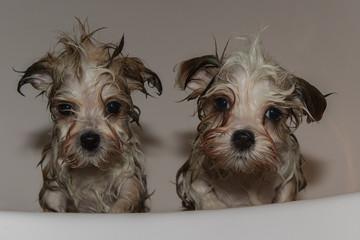 havanese dog puppy bathing