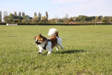 Kleiner Hund rennt