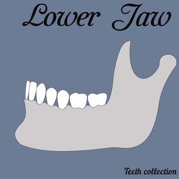 lower jaw mandible