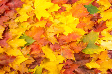 texture, background. Maple Leaves yellow shades of red and gold.
