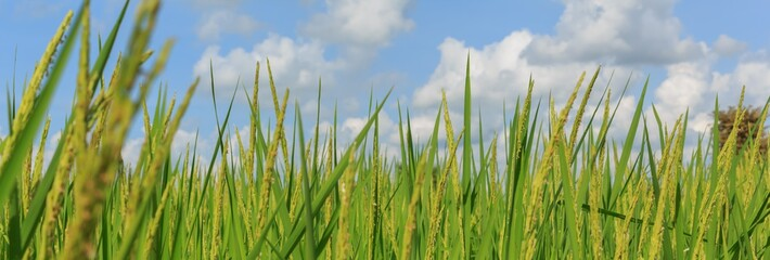 Rice plant with a blue sky have clouds.
