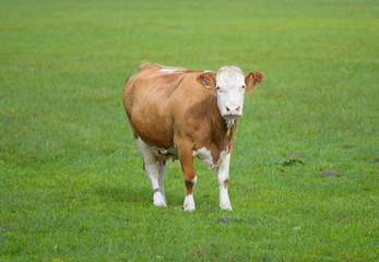 Braun - weiße Kuh auf einer grünen Wiese