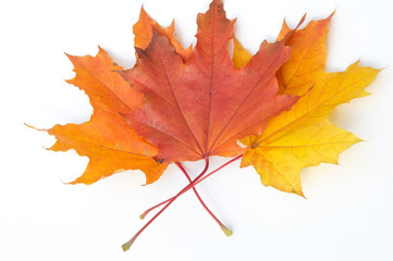 Texture, pattern, background.  autumn maple leaf on a white back