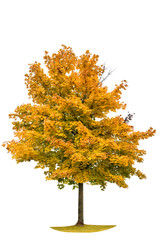 Autumnal yellow maple tree isolated on white background