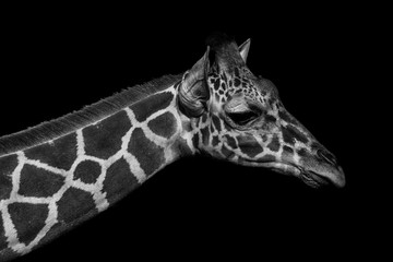 Monochromatic image of a the face of a giraffe. Skin of an African giraffe.