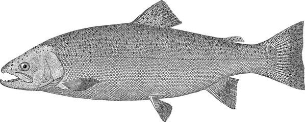 Vintage image fish salmon