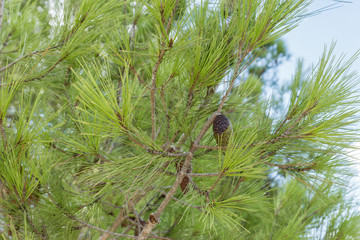 Green pine branches with cones on blue sky
