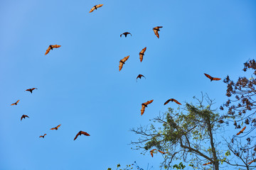 fruit bats flying Palawan Philippines