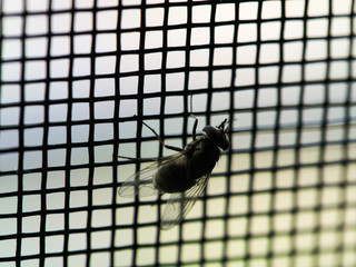 Fly on The Mosquito Wire Screen