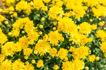 Yellow chrysanthemum flowers. Nature background.