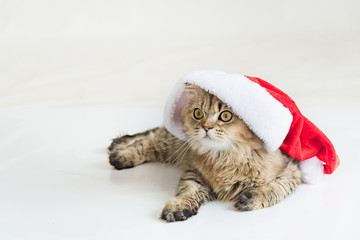 Persian cat in christmas