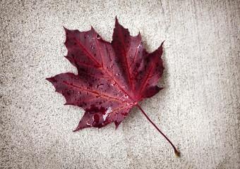 Single autumn maple leaf