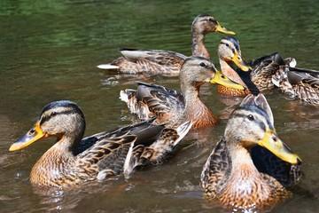Wild ducks chick (Anas platyrhynchos)