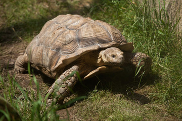 Wall Mural - African spurred tortoise (Centrochelys sulcata)