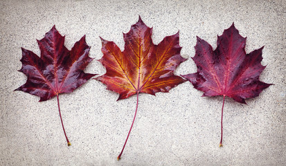 Three autumn maple leaves