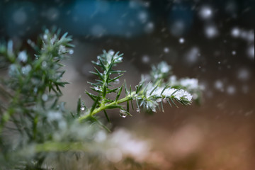 a branch of spruce in the snow, the first snow