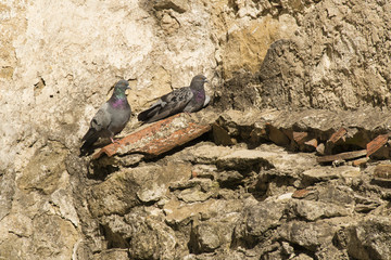 two pigeons on the old wall